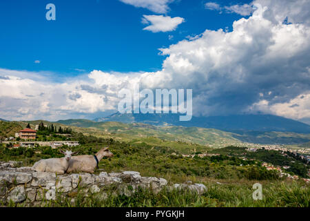 Two white domestic goats, one looking at the camera, rest on old stone wall high on the hills near the old town of Berat, Albania. Blurred spring back - Stock Photo
