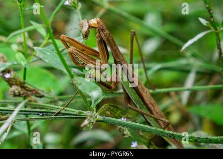 A close up of a large female Chinese mantis patiently awaits for prey in the shrubs at Yates Mill County Park in Raleigh North Carolina. - Stock Photo