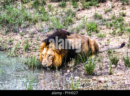 Male lion drinking water from a pond at Kruger National Park - Stock Photo