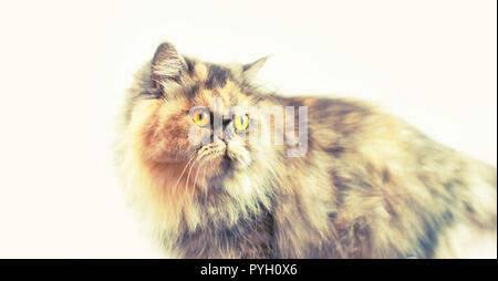 Banner Fluffy colorful Persian cat on a light background. Beautiful domestic long-haired young cat - Stock Photo