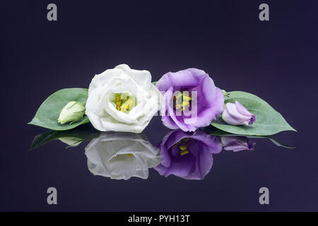 White and purple Lisianthus blooms - Stock Photo