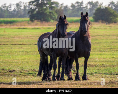 Beautiful friesian horses stand and graze in the green meadow in Friesland, in the north of the Netherlands. - Stock Photo
