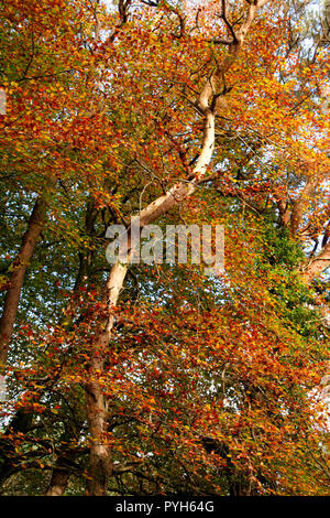 Common Beech (Fagus sylvatica) in Autumn leaf and deadwood; Cornwall; united Kingdom - Stock Photo