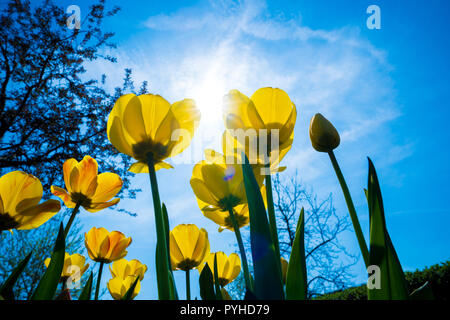 View flowers tulips from below - Stock Photo