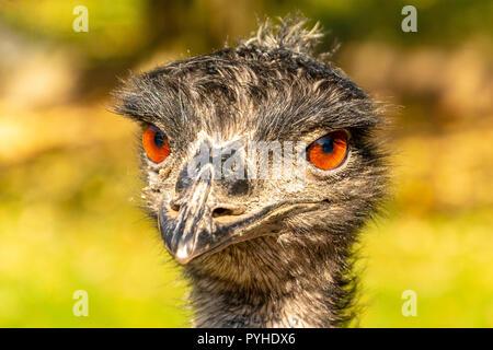 Portrait of an Emu Dromaius novaehollandiae head with orange eyes. Life on the farm. Ostrich at sunset. Portrait of an ostrich head at sunset. - Stock Photo