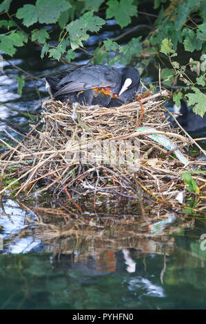 Common moorhen (Gallinula chloropus) on the nest feeding her young. - Stock Photo