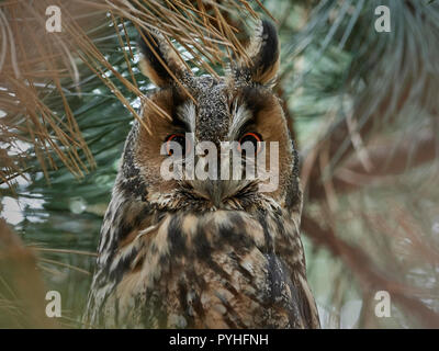 Portrait of the Long-eared owl (Asio otus) in its natural habitat in Denmark Stock Photo