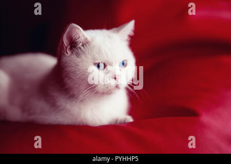 Persian cat, sitting in front of red background - Stock Photo