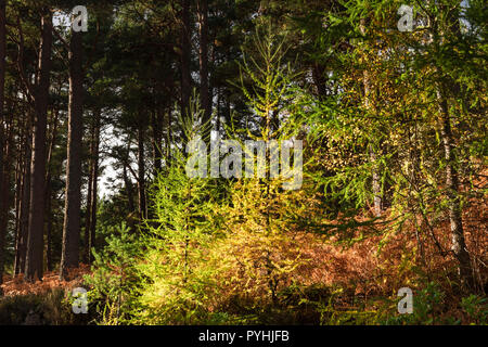 Two young European Larch trees, Larix decidua amongst the older pines in Speyside, Scotland. 20 October 2018 - Stock Photo
