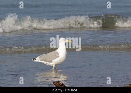 herring gull (Larus argentatus) on the Dune, Heligoland, Schleswig-Holstein, Germany - Stock Photo