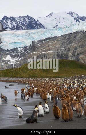 King penguins, Gold Harbour, South Georgia, Antarctica. - Stock Photo