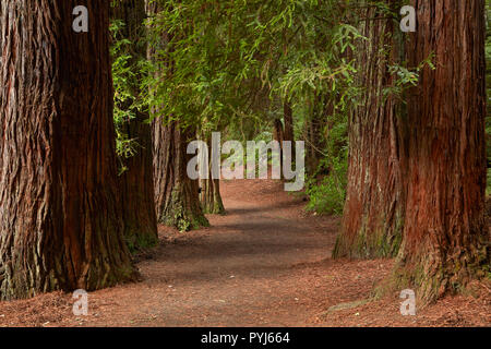 Walking track through The Redwoods (Whakarewarewa Forest), Rotorua, North Island, New Zealand - Stock Photo