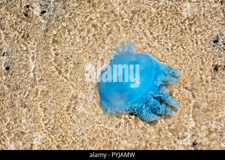 Blue Blubber jellyfish,  Catostylus  Mosaicus, in shallow water, Moreton Island beach, Queensland, Australia. - Stock Photo