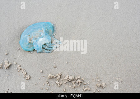 Blue Blubber jellyfish,  Catostylus  Mosaicus, washed up onto beach, Moreton Island beach, Queensland, Australia. - Stock Photo