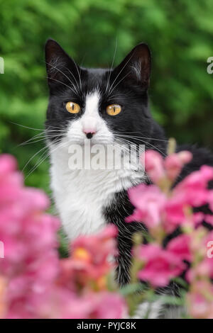 Black and white cat, European Shorthair, looking through pink blossoms with prying eyes, portrait - Stock Photo
