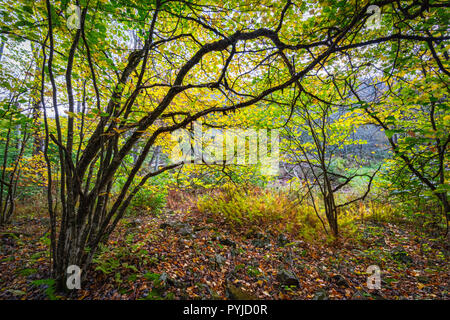 The beech trees that line Gandy Creek in West Virginia usher in the vibrant autumn yellows, dotting the forest with a phosphorescent glow, interrupted - Stock Photo