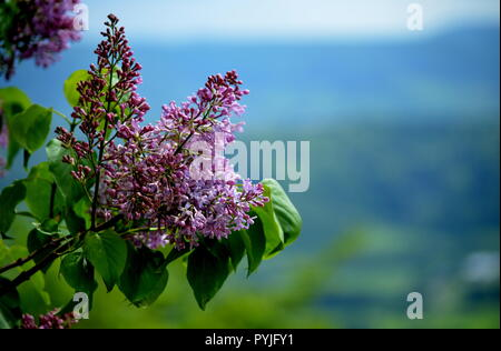 Lilac flower in front of a landscape with hills and forests - Stock Photo