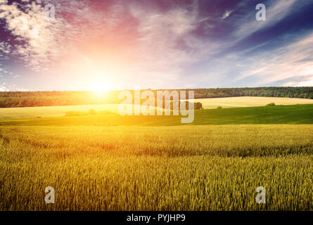 Wheat field, blue sky and dawn in retro style. Free space for text. - Stock Photo