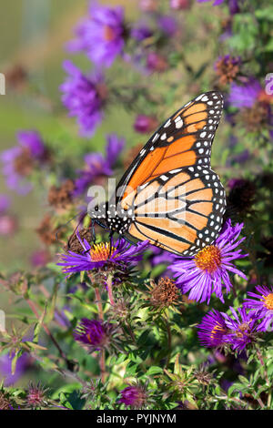 Monarch butterfly  Feeding On New England Aster flowers at prairie, Iowa, USA - Stock Photo