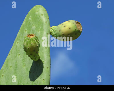 Picky pear cactus with fruits against blue sky background with copy space - Stock Photo