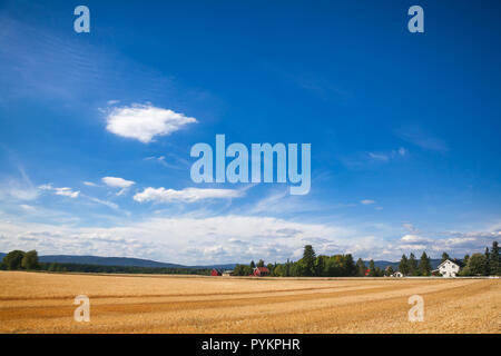 Norwegian rural landscape with traditional red wooden barn houses and golden wheat field on a bright summer day - Stock Photo