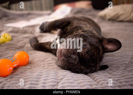 close up brindle French bulldog playing with his toys on the bed - Stock Photo