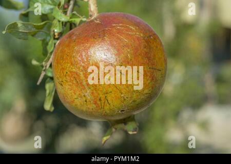Ripe pomegranate fruit on tree branch. Pomegranate, Punica granatum - Stock Photo