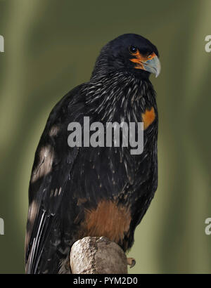 Striated Caracara (phalcoboenus australis) - Stock Photo