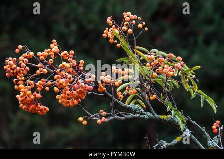 Rowan, Sorbus 'Brilliant yellow' - Stock Photo