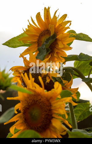 Blooming flowers. Sunflowers on background of sky. Meadow with sunflowers. Wild flowers. Nature flower. Sunflowers on field. Sunflower is tall plant o - Stock Photo