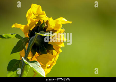 Blooming flowers. Sunflowers on a green grass.  Meadow with sunflowers. Wild flowers. Nature flower. Sunflowers on field. Sunflower is tall plant of t - Stock Photo