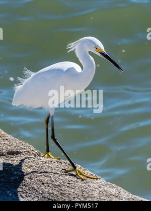 Snowy egret Egretta thula by a river on the coast of Florida USA - Stock Photo