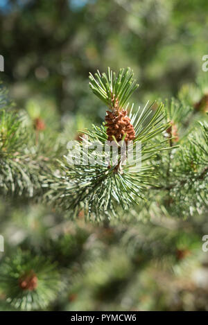 Close-up detail of a green spruce tree branch with a small pine cone bud on a warm summer day in bright sunshine. - Stock Photo