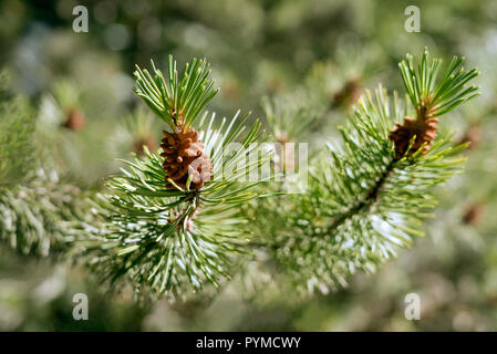 Close-up detail of a green spruce tree branch with small pine cones buds in bright sunshine on a warm summer day. - Stock Photo