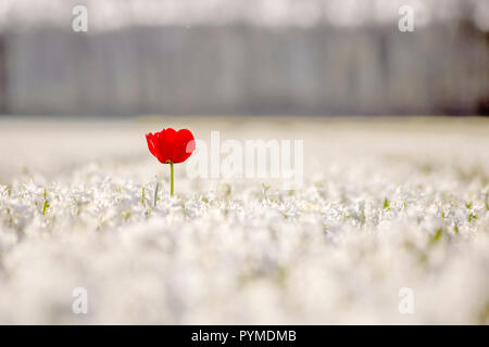 Red tulip stands out from the hyacinths flowers fields to get all the sunset lights at Lisse, Netherlands - Stock Photo