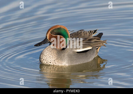Detailed, close-up, side view of male common teal duck (Anas crecca) isolated in winter sunshine, swimming in freshwater lake, its natural UK habitat. - Stock Photo
