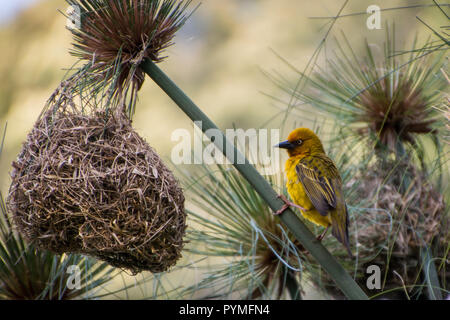 Male Cape Weaver sitting in Cyperus papyrus (paper reed) next to it's nest, yellow bird with black beak with its weaved nest.