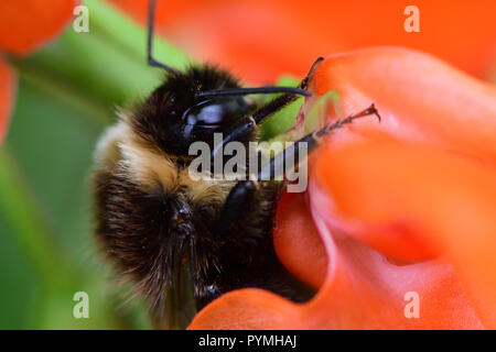 Macro shot of a bumble bee pollinating a runner bean flower - Stock Photo