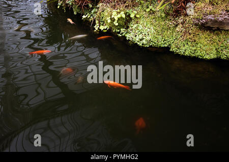 Goldfish swimming around in a pond, Botanic Gardens, Glasgow, Scotland - Stock Photo