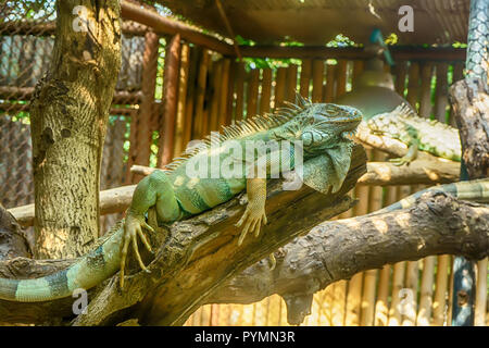 Green Iguana on the tree in a forest model. - Stock Photo
