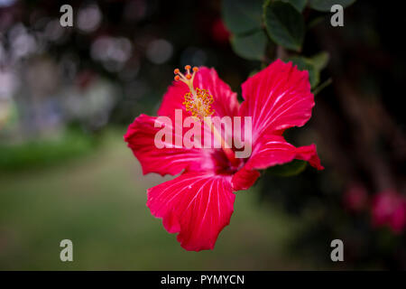 Roter Hibiskus Nahaufnahme - Stock Photo