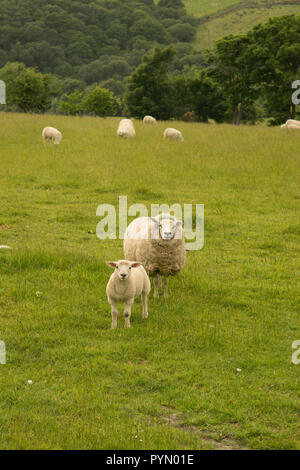 Ewe with lamb looking at the camera - Stock Photo