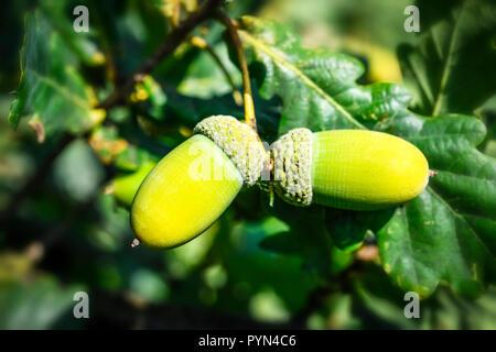 Acorns in an oak, Quercus robur, Eicheln an einer Eiche - Stock Photo