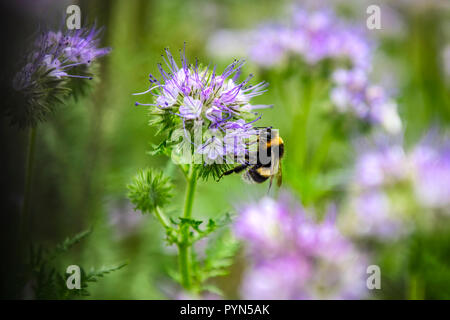Dark earth bumblebee, Bombus terrestris, on a bundle nice blossom, Phacelia tanacetifolia, on 1 acre in Hamburg, Germany, Dunkle Erdhummel, auf einer  - Stock Photo