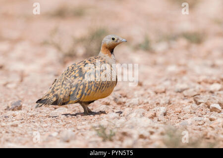 Black-bellied Sandgrouse (Pterocles orientalis), adult male standing on the ground - Stock Photo