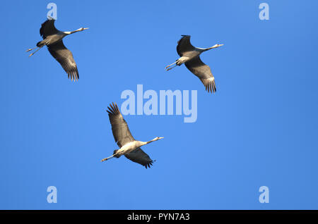 A flight of common cranes (grus grus) over the ponds of Arjuzanx, south western France. - Stock Photo