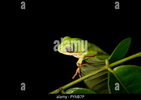 A tree frog photographed in the jungles of Suriname near Bakhuis. Suriname is noted for its unspoiled rainforests and biodiversity with a huge range o - Stock Photo