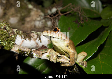 A tree frog photographed in the jungles of Suriname near Botapassie on the Suriname River. Suriname is noted for its unspoiled rainforests and biodive - Stock Photo