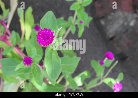Globe amaranth or Gomphrena globosa flower in the garden - Stock Photo