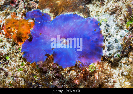 Disk anemone [Discosoma sp.].  Discosomatidae is a family of marine cnidarians closely related to the true sea anemones [Actiniaria].  Corallimorphari - Stock Photo